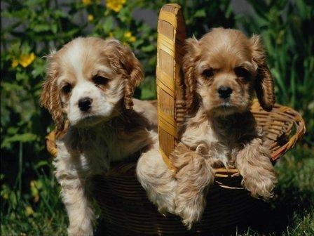 ƒва щенка в корзинке