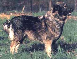 Крайская овчарка