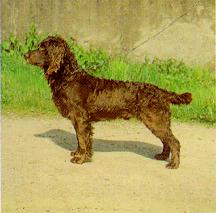 Немецкая перепелинная собака