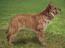 Пикардийская овчарка